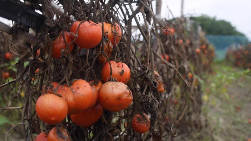 Marnowanie jedzenia wzrasta w czasach koronawirusa :( – materiał z USA